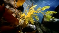 Leafy Sea Dragon Seahorse swimming past video
