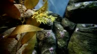 Leafy Sea Dragon Seahorse video