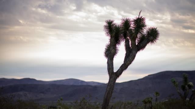 Leaning Joshua Tree - Time Lapse video