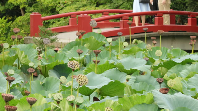 Leaves and seeds swaying in the wind of lotus pond video