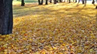 Leaves are falling down in the autumn. video