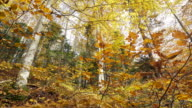 Leaves falling from the trees in autumn. video