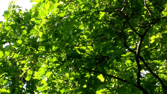 Leaves of an oak video