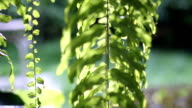 Leaves of green ferns for background video