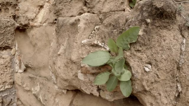 Leaves of green grass grow on wall of ruins antique town Salamis east Cyprus Famagusta video