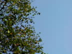 Leaves on a tree 2 video