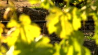 Leaves on a vine video