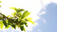 Leaves Swaying by Wind in Blue Sky video