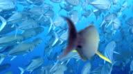 Leer Fish Shoal video