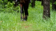 Legs of horse walk in green grass as it approaches video