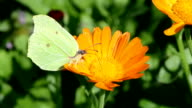 Lemon colored brimstone butterfly picking pollen video