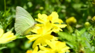Lemon Emigrant video