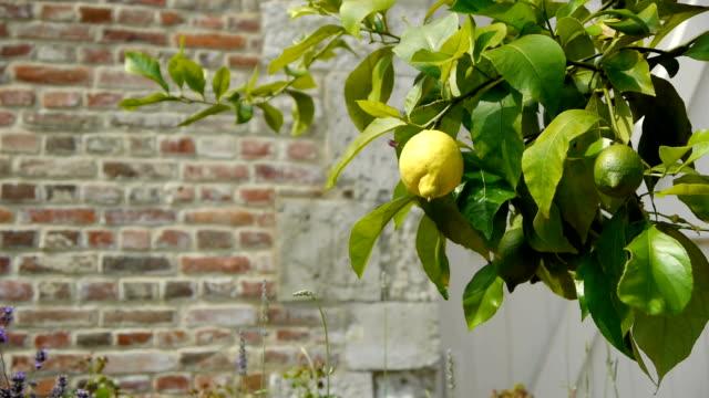 Lemon tree at an old walled botanical garden video