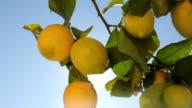 Lemons Hanging On Lemon Tree video