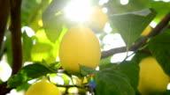 Lemons on the branch video