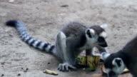 Lemur catta eating banana at daytime HD. video
