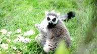 Lemur catta eating video