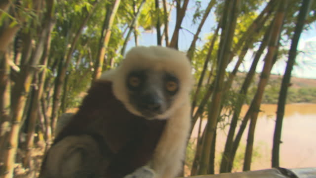 Lemur looking in camera HQ 4:2:2 video