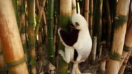 Lemur on a bamboo tree video