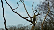Lemur playin on tree with blue sky on the background video