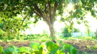 Lens flares and an apple tree video