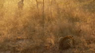 Leopard and Hyena video