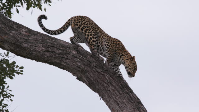 Leopard climbing down the brach of a tree in the Okavango Delta video