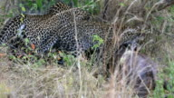 Leopard cub eating at secret place - camouflage / evening video