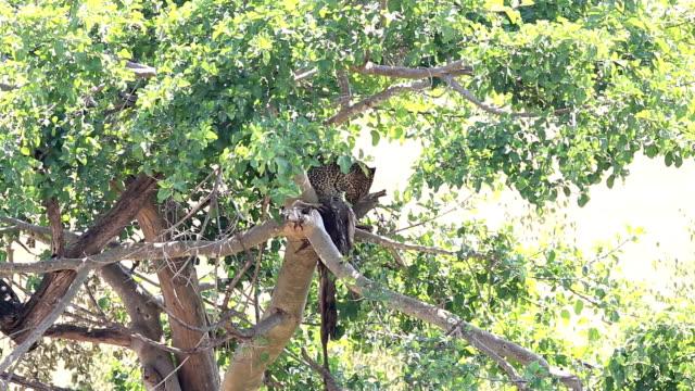 Leopard eating freshly killed antelope on the tree video