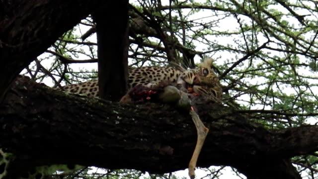 Leopard eating pray video