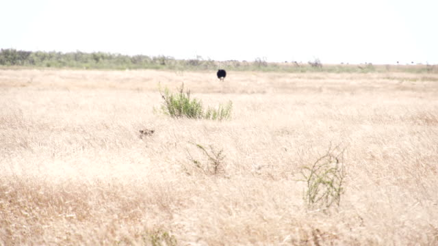 WS Leopard Going For The Prey video