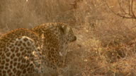Leopard Hissing video