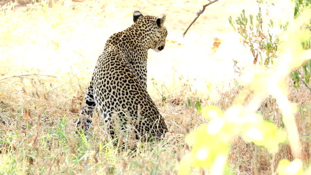 Leopard in the bushes video
