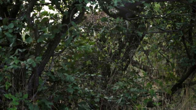 Leopard in the wild video