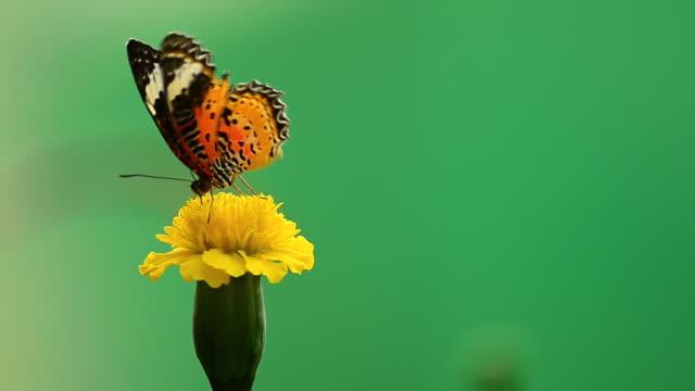 Leopard Lacewing butterfly video
