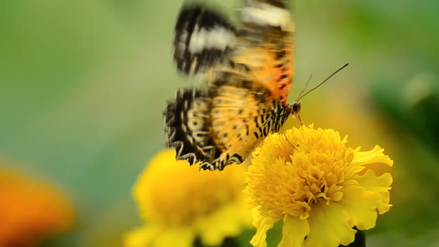 Leopard Lacewing butterfly video