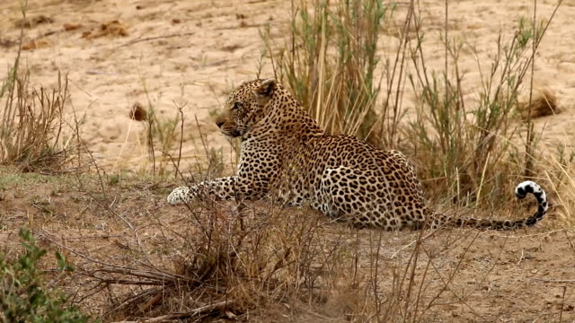 Leopard laying in the grass video