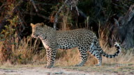 Leopard on the move video