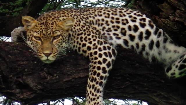 Leopard on tree video