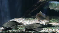 Leopard Pleco Catfish video