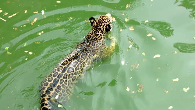 leopard. video