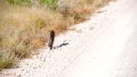 LS Leopard Walking Along Dirt Road video