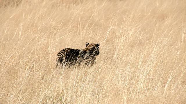 SLOW MO LS Leopard Walking In High Grass video