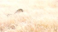 LS TS Leopard Walking In High Grass video