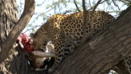 Leopard with antelope carcass video