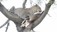 Leopard with kill video