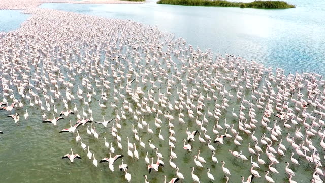 Lesser Flamingoes on a lake near Kimberley South Africa video