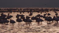 4K Lesser flamingos in silhouette against gold coloured water video