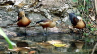 Lesser Whistling Duck Preening Feather in Pond video