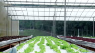 Lettuce in greenhouse hydroponics video